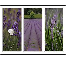 Lavender Field Photographic Print