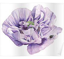 Single Purple Poppy Poster