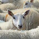 Who Ewe Looking at? by Barrie Woodward