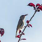 Brown Honeyeater Songstress by Christina Backus