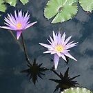 Flower Reflection, Cloud Reflection, New York Botanical Garden, Bronx, New York   by lenspiro