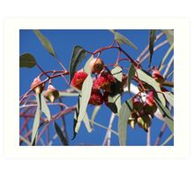 Stunning red Eucalyptus gum flowers _caesia_native, Adelaide hills, S.A. Art Print
