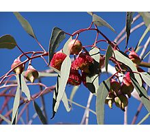 Stunning red Eucalyptus gum flowers _caesia_native, Adelaide hills, S.A. Photographic Print