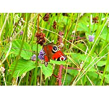 Peacock Butterfly at Loch Shiel Photographic Print