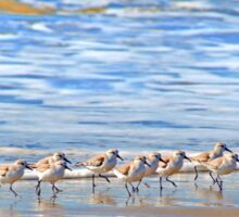 We're following the leader... Sandpipers in Goleta Beach California Sticker