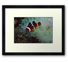 Clown Fish and Bubble Tipped Anemone Framed Print