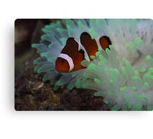 Clown Fish and Bubble Tipped Anemone Canvas Print