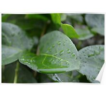 Water droplets taking a nap on a leaf Poster