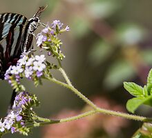 Western Tiger Swallowtail Butterfly by corsefoto
