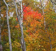 Tall Birch Fall by Lynda Barrie