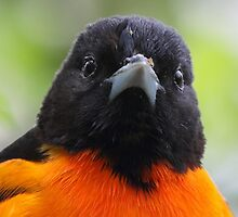 Baltimore Oriole by William C. Gladish, World Design