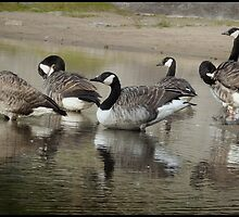 Canada Geese Soon to Go South by HELUA