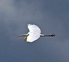 Hang Gliding - River Murray Great Egret, Renmark, South Australia by Mark Richards