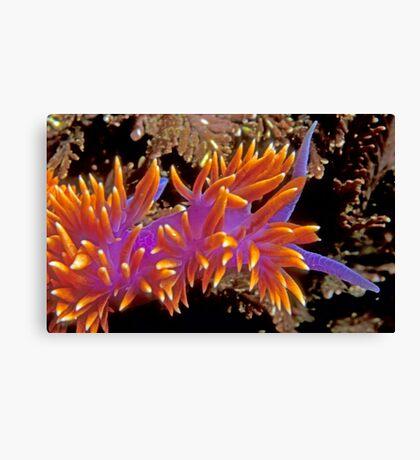 Spanish Shawl. (Flabellina iodinea) Santa Cruz Island, CA Canvas Print