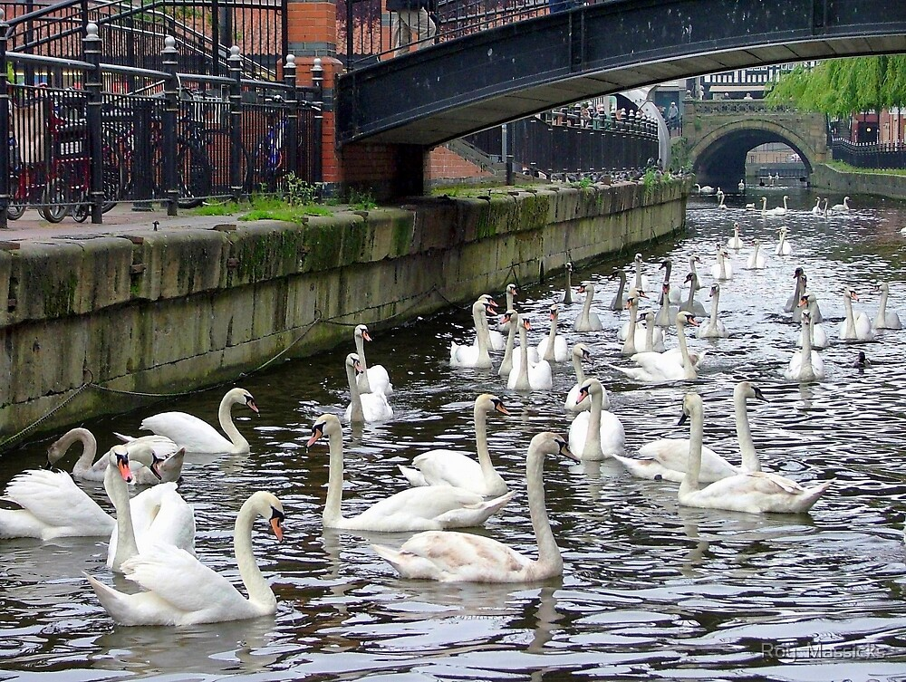 A Game of Swans at Lincoln.............! by Roy  Massicks