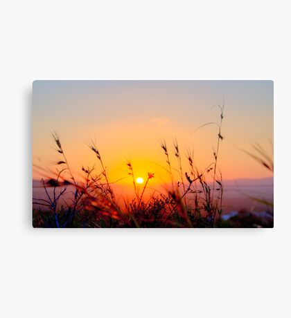 Sunset Spring Grasses - Byron Bay Canvas Print