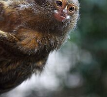 Pygmy Marmoset by Atarial