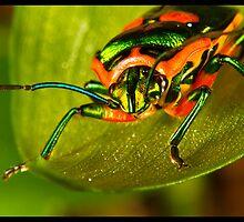 Metallic Shield Bug (Scutiphora pedicellata) by Kerrod Sulter