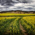Canola by Kym Howard