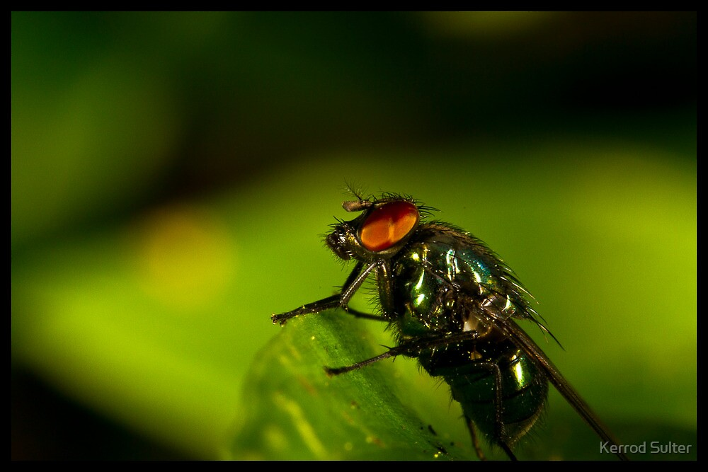 fly On A Leaf #2 by Kerrod Sulter