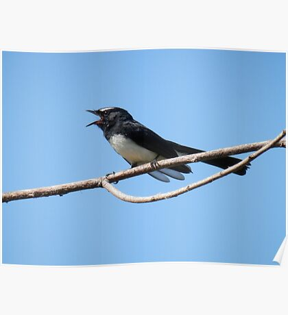 Willy Wagtail Poster