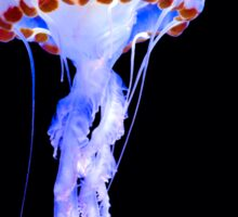Purple Striped Jellyfish (Chrysaora colorata) Sticker