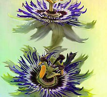 Passiflora ( Passion Flower ) by Irene  Burdell