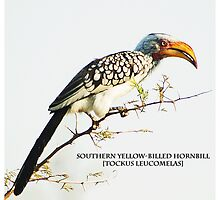 Yellow Billed Hornbill by Andrew Robinson