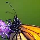 Butterflies and flower close ups by Sven Brogren