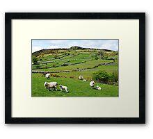 Kerry Hill Sheep Framed Print