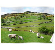 Kerry Hill Sheep Poster