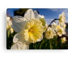 daffodils close up Canvas Print