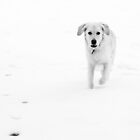 Labrador dog in the snow by Andrew Robinson