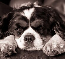 King Charles Cavalier by Deb  Sulzberger