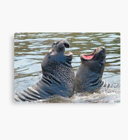 Confrontation / Conflict. Elephant Seals Reserve, San Simeon, CA Canvas Print