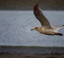 "gull flying, ""acrylic"" photography by dedmanshootn"