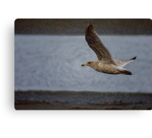 "gull flying, ""acrylic"" photography Canvas Print"