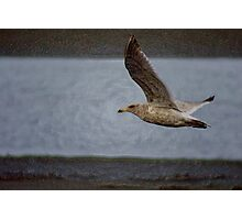 "gull flying, ""acrylic"" photography Photographic Print"
