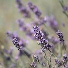 Lavender by Jean Martin