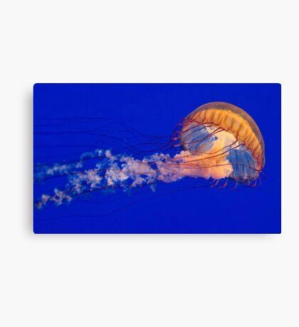 Sea Nettles Jellyfish (Chrysaora fuscescens) Canvas Print