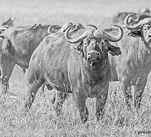 Cape Buffalos by Pravine Chester