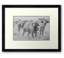 Cape Buffalos Framed Print