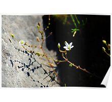 Burren Flower on the Shore Poster
