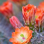 Orange cactus blooms by Bryan  Keil