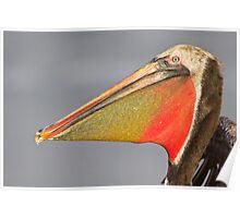 Brown Pelican Head shot Poster