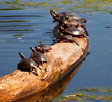 Turtles in the Sun by Linda  Makiej
