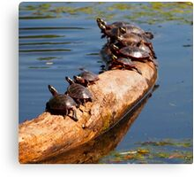 Turtles in the Sun Canvas Print