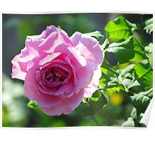 Late Summer Rose Poster