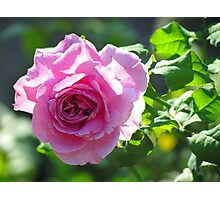 Late Summer Rose Photographic Print