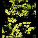sunny backlit maple leaves iphone cover by dedmanshootn
